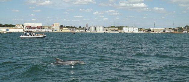 Golfinhos do Estuário do Sado